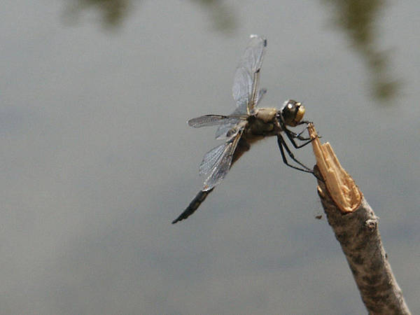 Photograph - Little Payette Dragonfly 2 by Tarey Potter