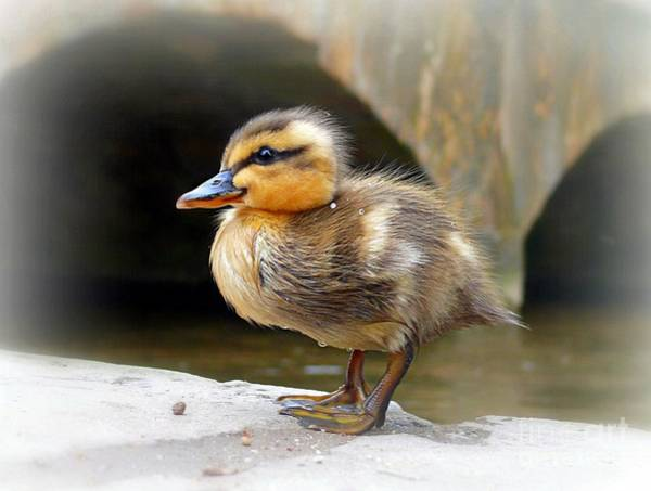 Photograph - Little Quack by Morag Bates