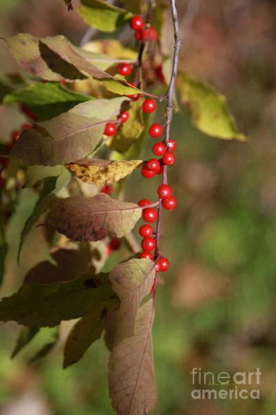 Photograph - Little Red Berries by Deborah Benoit
