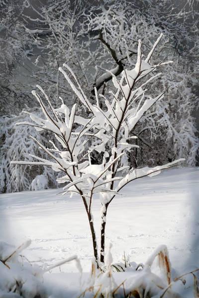 Photograph - Little Snow Tree by Karen Adams