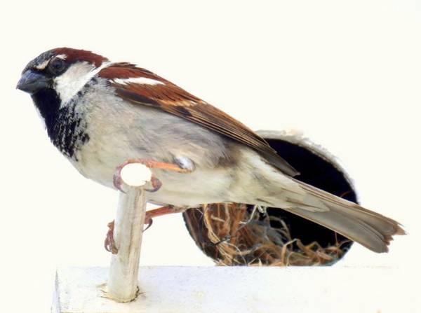 House Sparrow Photograph - Little Sparrow by Karen Wiles