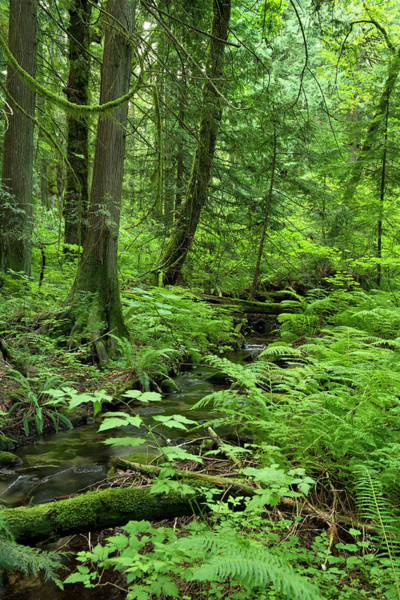 Cedar Tree Photograph - Little Stream In The Woods by Rontech2000