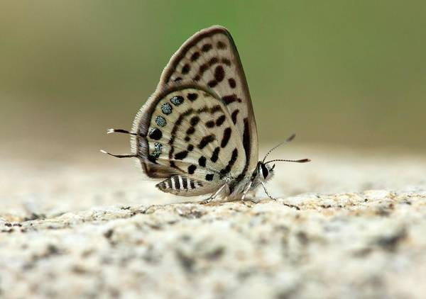 Eastern Europe Wall Art - Photograph - Little Tiger Blue Butterfly by Bob Gibbons
