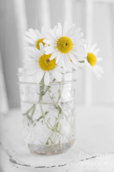 Photograph - Little White Daisy Flowers Over White by Edward Fielding