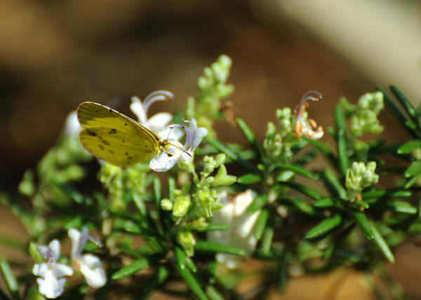 Photograph - Little Yellow Butterfly On Rosemary by Rebecca Sherman