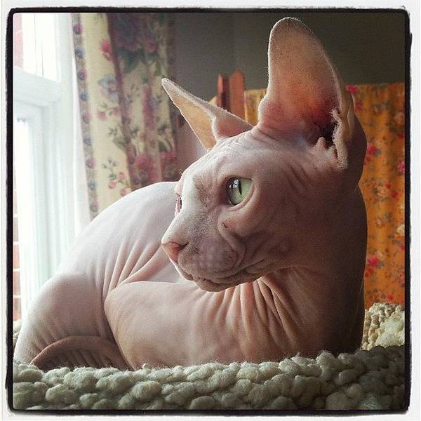 Charity Wall Art - Photograph - #littlegee In Her New Nest :) #sphynx by Samantha Charity Hall