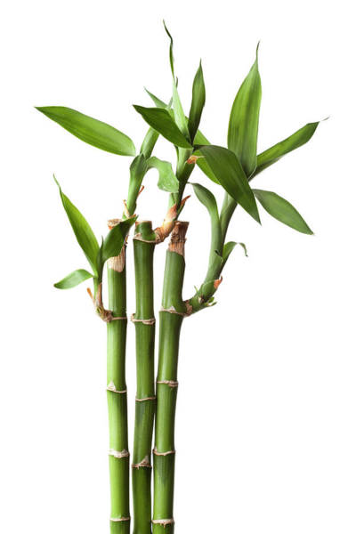 Vitality Photograph - Live Bamboo Plant Isolated On White by Jill Fromer