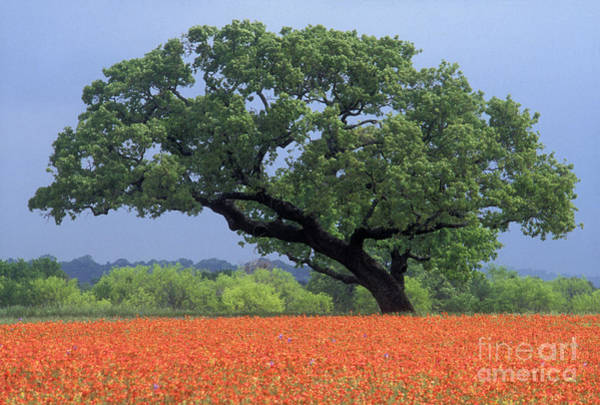 Prarie Photograph - Live Oak And Paintbrush - Fs000920 by Daniel Dempster