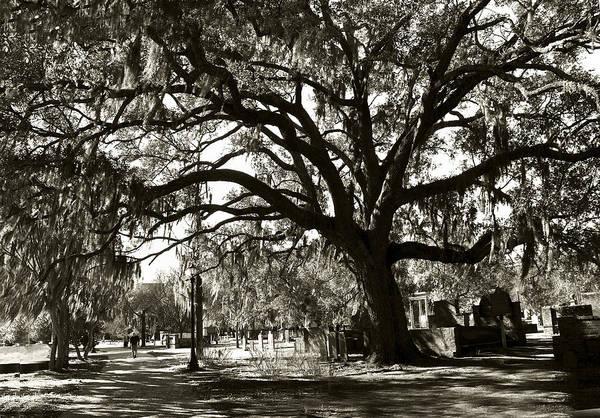 Photograph - Live Oak by Carol Erikson