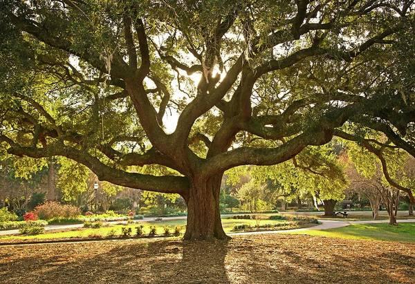 South Carolina Photograph - Live Oak by Daniela Duncan