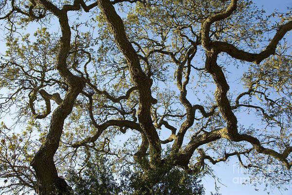 Photograph - Live Oak Tree Patterns by Charmian Vistaunet