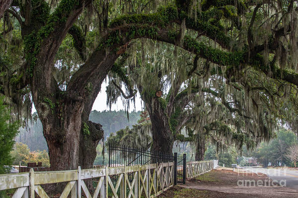 Photograph - Live Oak Tree Splendor by Dale Powell