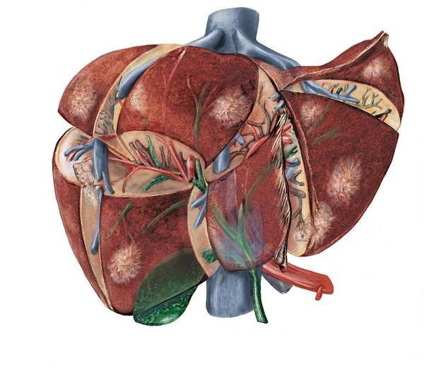 Wall Art - Photograph - Liver Anatomy by D & L Graphics / Science Photo Library