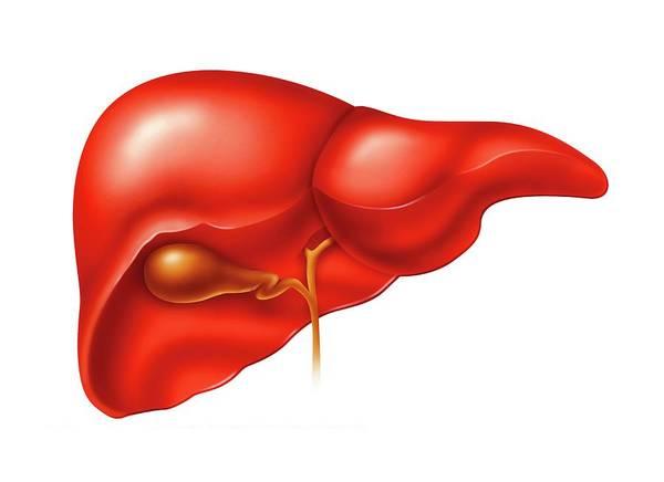Bile Duct Photograph - Liver And Gallbladder by Harvinder Singh