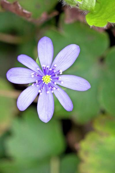Liverwort Photograph - Liverleaf (hepatica Transsilvanica) by Dan Sams/science Photo Library