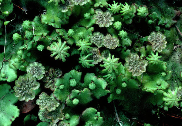 Liverwort Photograph - Liverwort by Steve Taylor/science Photo Library