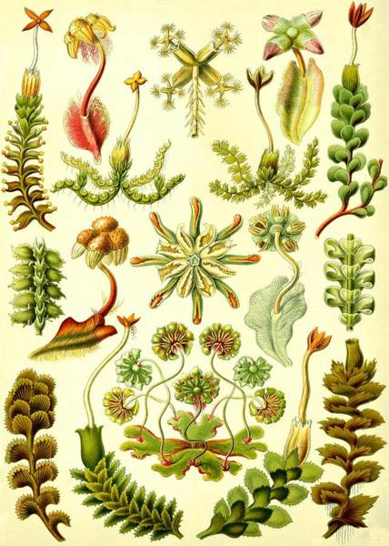 Digital Art - Liverworts Moss Brunnenlebermoos Haeckel Hepaticae by Movie Poster Prints