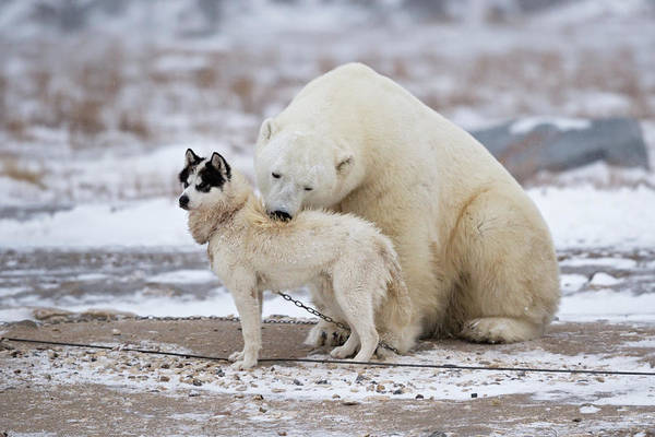 Polar Bear Photograph - Living Together by Marco Pozzi