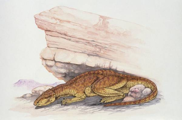 Wall Art - Photograph - Lizard Beside A Rock by Deagostini/uig/science Photo Library