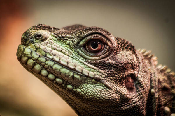 Photograph - Lizard Close-up by James Woody