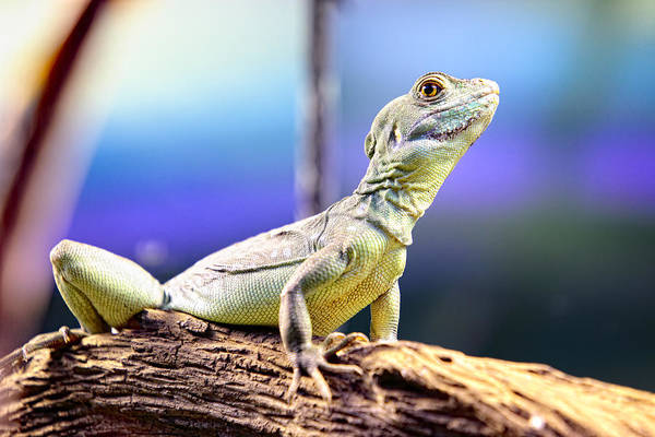 Photograph - Lizard by Goyo Ambrosio