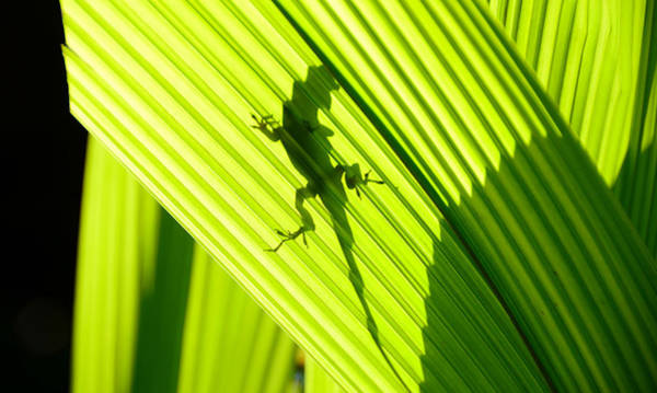 Green Anole Photograph - Lizard In Shadow by David Lee Thompson