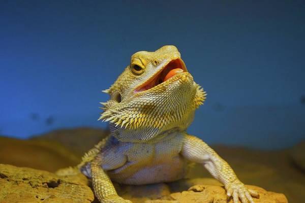 Jasmin Photograph - Lizard by Jasmin Hrnjic