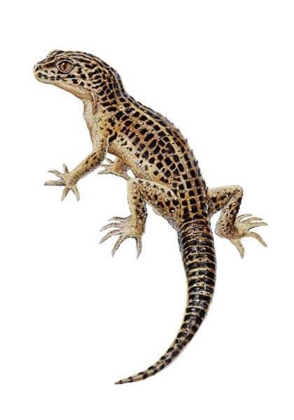 Long Tail Photograph - Lizard by Michael Long/science Photo Library