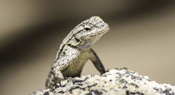 Photograph - Lizard On The Rocks by Luna Curran