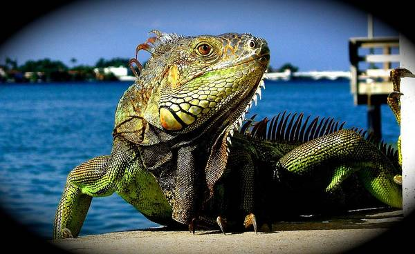 Photograph - Lizard Sunbathing In Miami by Monique Wegmueller