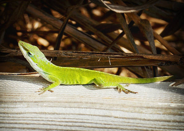 Photograph - Lizard by Val Stone Creager