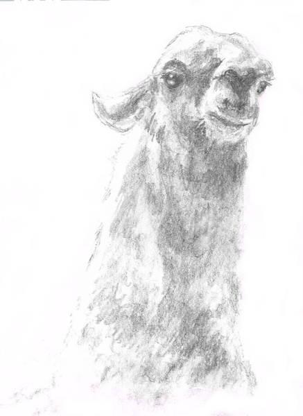 Llama Close Up Art Print