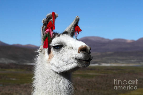 Photograph - Llama Earring Fashion by James Brunker
