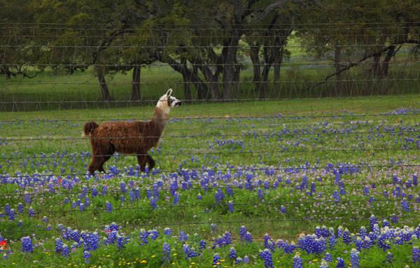 Llama In Bluebonnets Art Print