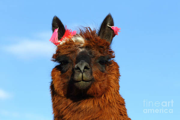 Photograph - Brown Llama Portrait by James Brunker