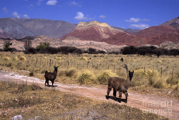 Photograph - Llamas And Cerro Yacoraite Argentina by James Brunker