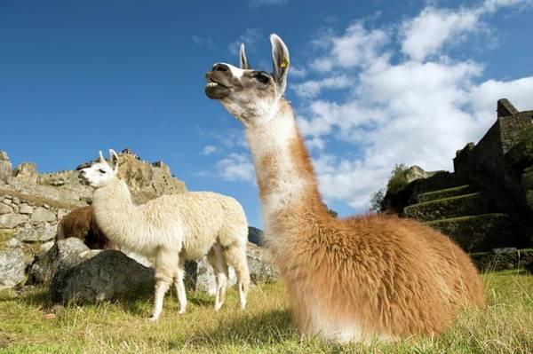 Lama Wall Art - Photograph - Llamas by Tony Camacho/science Photo Library