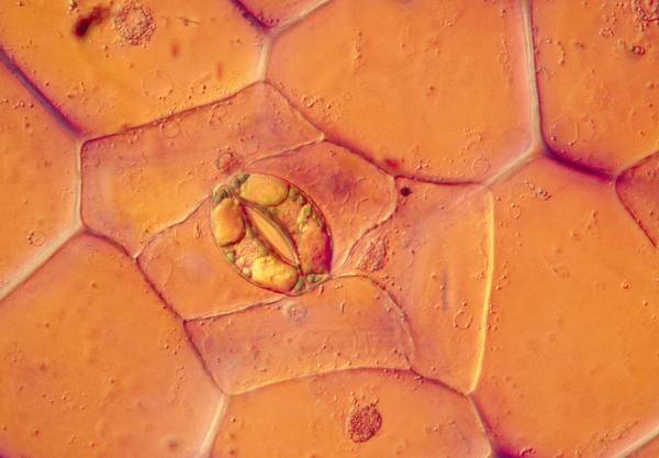 Tradescantia Photograph - Lm Of A Stoma On A Tradescantia Leaf by Power And Syred