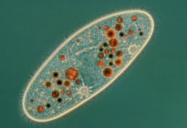Vacuole Photograph - Lm Of The Ciliate Protozoan Paramecium Sp. by Dr David Patterson/science Photo Library