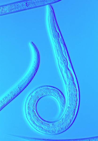Soil Science Wall Art - Photograph - Lm Of The Nematode Worm by Sinclair Stammers/science Photo Library