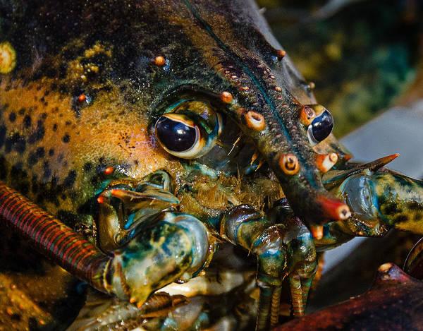 Photograph - Lobster by Jennifer Kano