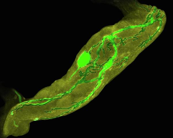 Microscopy Photograph - Lobster Stomatogastric Neuron (lobster) by Dennis Kunkel Microscopy/science Photo Library