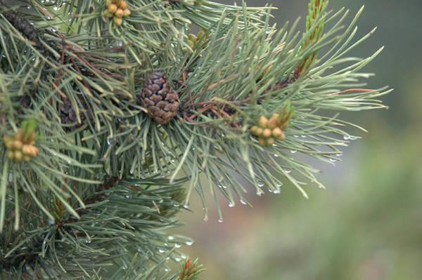 Lodge Pole Pine In The Fog Art Print