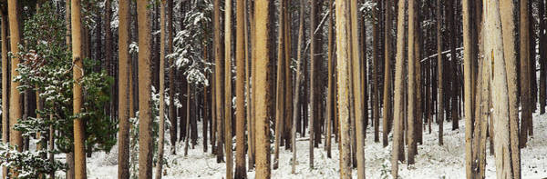 Winter Holiday Photograph - Lodgepole Pines And Snow Grand Teton by Panoramic Images