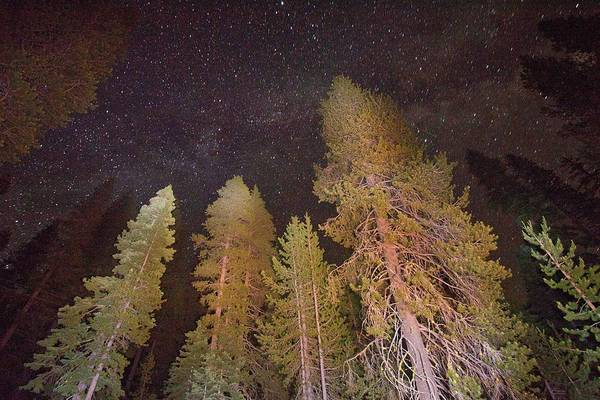 Coniferous Tree Photograph - Lodgepole Pines by Bob Gibbons/science Photo Library