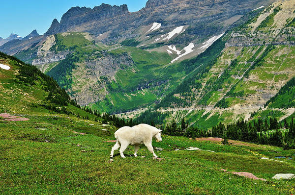 Photograph - Logan Pass Mountain Goat by Greg Norrell