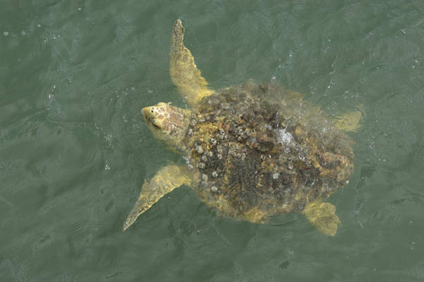 Photograph - Loggerhead Sea Turtle by Bradford Martin