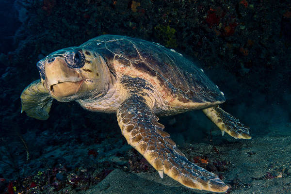 Loggerhead Turtle Under Ledge Art Print