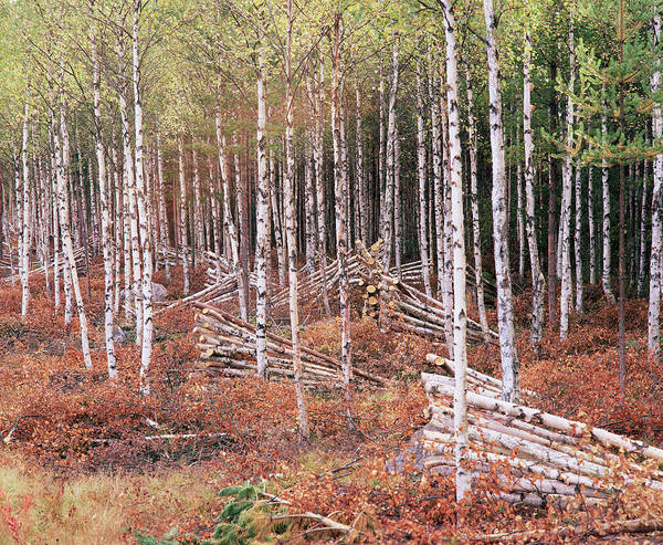 Alder Photograph - Logging Of An Alder Forest by Bjorn Svensson/science Photo Library
