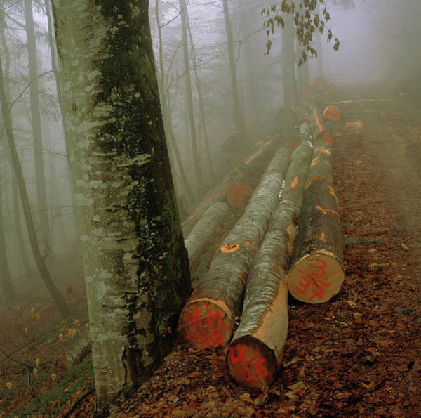 Forestry Photograph - Logs In Forest by Mark De Fraeye/science Photo Library